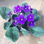 Houseplants_African-violet