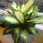 Houseplants_Aglonema