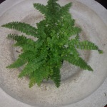 Houseplants_Boston Fern