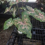 Houseplants_Caladium
