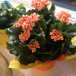 Houseplants_Calanchoe