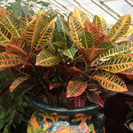 Houseplants_Croton