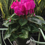 Houseplants_Cyclamen