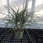 Houseplants_Dracena marginata