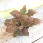 Houseplants_Fittonia