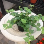 Houseplants_Ivy