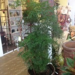 Houseplants_Miing Aralia