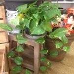 Houseplants_Pothos